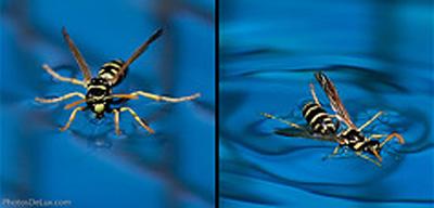 wasp walking on water